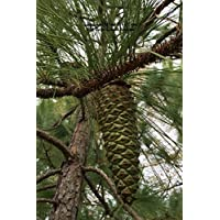 Long Leaf Pine Tree Cone: 100 Page Lined Journal - Long Leaf Pine
