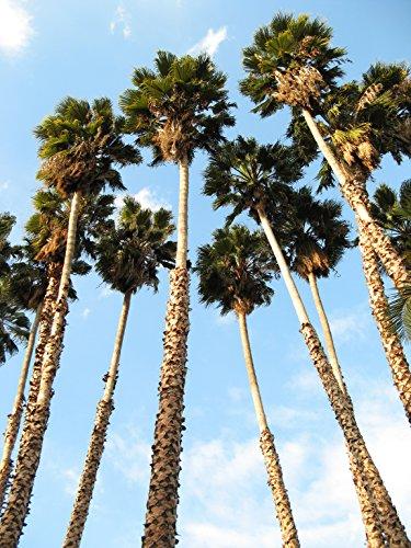 30 California palmier artificiel Jupon Arizona Desert Washingtonia Filifera Graines