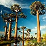 2015 Genuine 10 Stücke von hochwertigen seltenen Baobab Samen tropischen Pflanze Baum Samen Mix Farben