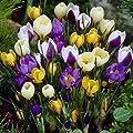 Frühblühende Krokus Mischung von Meingartenshop - Du und dein Garten