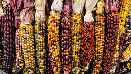 Ziermais 5 Samen, Zea Mays Indian Berries -Popcorn, Dekoration, helle Farben