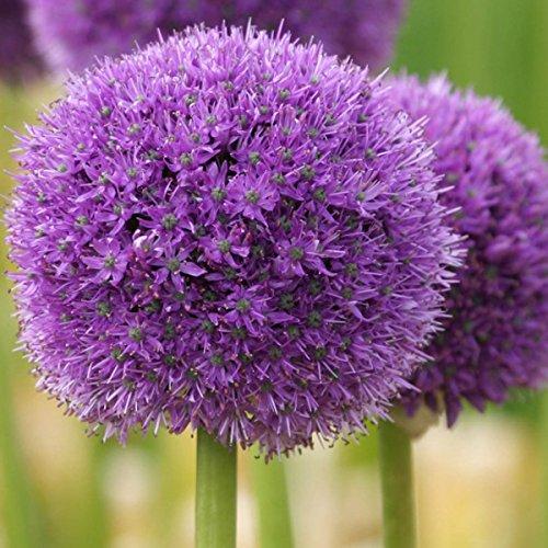 bulbo bulbi fiore gigante vaso giardino Allium Globemaster acquaverde Gladiator