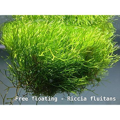 Riccia fluitans, piante galleggianti o tappezzanti (porzione 5 g)