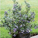 Kompakte Heidelbeere Northcountry im 17er Topf mit überragendem Waldbeeren-Aroma. Mittelgroße, königsblaue Früchte