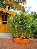Sonnen-Gartenbambus - Fargesia murielae - Sonnenschein - Heckenbambus, üppiger Wuchs, 40-60 cm