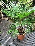 Trachycarpus wagnerianus, Hanfpalme, Palme, Winterhart, Gesamthöhe: 90-110cm, Stamm: 15-25cm, Topf: Deco 26 - 8.5 l.,