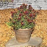 Traubenheide (Leucothoe axcillaris) Curly Red. 3 Stck. C2. Spar-Set - zu dem Artikel bekommen Sie gratis ein Paar Handschuhe für die Gartenarbeit dazu