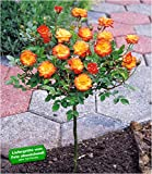 BALDUR-Garten Mini-Stammrose Orange 1 Pflanze Rosenstamm winterhart