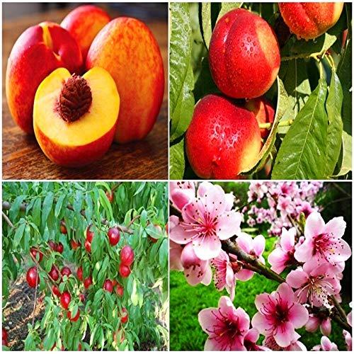 Casavidas 2ST Nektarine Pfirsich Frisches Obst - Prunus persica Sweet Honey Baum des Staudengartens für Garten