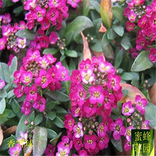 Nouvelle arrivée vente chaude d'été régulier Tempéré Balcon exclus Petit Willow Spiraea Sorgho 100 graines (xiang) 3 xue qiu