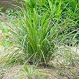 Citronella o Lemongrass (Cymbopogon citratus) [Vaso Ø14cm]