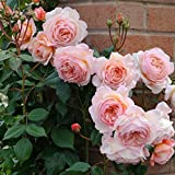 "Best Climbing Roses - Primrose Garden Rare Grafted Climbing Rose Plant "" Review"