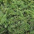 Wasserpflanzen Wolff - Ceratophyllum demersum - winterhartes Hornblatt - Hornkraut von Wasserpflanzen Wolff - Du und dein Garten