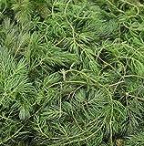 Wasserpflanzen Wolff - Klärpflanze! - Ceratophyllum demersum - winterhartes Hornblatt - Hornkraut