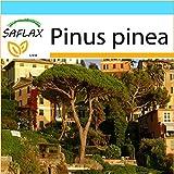 SAFLAX - Confezione regalo - Pino marittimo - 6 semi - Pinus pinea