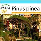 SAFLAX - Geschenk Set - Mittelmeer - Pinie - 6 Samen - Pinus pinea