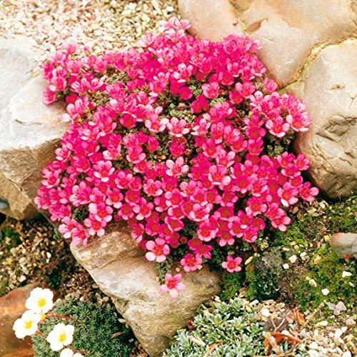 MEIGUISHA Gartensamen- 50pcs Seifenkraut Teppich Saponaria Ziergras winterhart mehrjährig Pflanzen Blumensamen