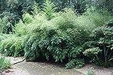 Baumschule Pflanzenvielfalt Fargesia rufa - Hecken- und Garten-Bambus - 40-60 cm - Immergrün Test
