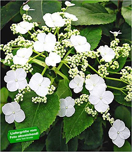 BALDUR-Garten Kletter-Hortensien 'Semiola®', Hydrangea petiolaris 1 Pflanze blühende Kletterpflanze winterhart