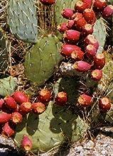 Tropica higo chumbo (Opuntia) mezcla, resistente al invierno, 20 semillas