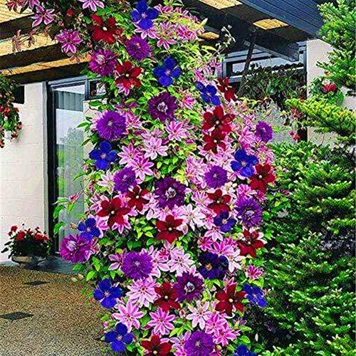 Obiqngwi 100pcs clematis rampicante semi di vite piante ornamentali bonsai semi di perenni piante da esterno per il giardino - colore misto