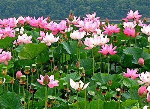 Lotus Blume, Samen (3x Nelumbo komarovii sibirische Lotus Blume, Samen aus Chabarowsk, amur habitat)