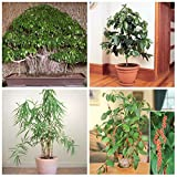 #4: Primrose Gardens Dwarf Potted Tree Spice Seeds Combo - Ficus Black-Pepper Bamboo Coffee Seeds NewCombo#14