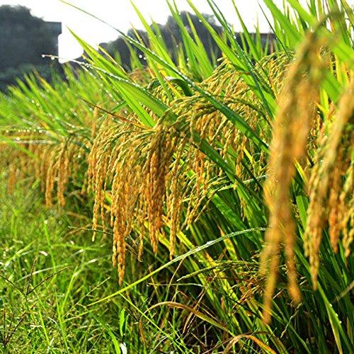 100 Samen / pack Hochwertige Reissamen -