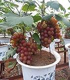 #7: M-Tech Gardensbonsai Fruit Grape Sweet Grapes Tree Bonsai Seeds - 10 Seeds