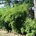 Bambus Fargesia 'Campbell' 80/100 cm 7,5LC von VDG-KL-Baumschule auf Du und dein Garten