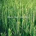 Unkrautsamen, Weizengrassamen, Topf Katze Unkrautsamen, essbaren Bio-Gemüsesamen von SVI auf Du und dein Garten