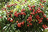 Best Lychees - Rare Dwarf Lychee Litchi Emperor Live Plant 1 Review