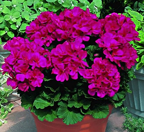 Deux couleurs Rouge Blanc univalve Géranium Graines Graines de fleurs vivaces Pelargonium peltatum Semences pour 100 graines Pièces d'intérieur / Sac 8