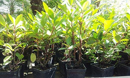 20 piante lauroceraso da giardino siepi siepe vaso 7 20 for Piante da esterno in vaso