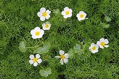 2er-Set - Ranunculus aquatilis - Wasserhahnenfuß, weiß - Wasserpflanzen Wolff von Wasserpflanzen Wolff bei Du und dein Garten