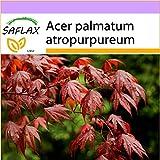 SAFLAX - Roter Fächerahorn - 20 Samen - Acer palmatum atropurpureum