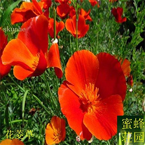Vente d'été réguliers embellissant exclus limité dans le temps Tempéré Balcon Petit Mini semences Importations Jinye graines de ginseng 100 1
