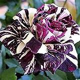 Blumensamen, Wildblumen, mehrfarbig, 100 Samen, rose-white+purple