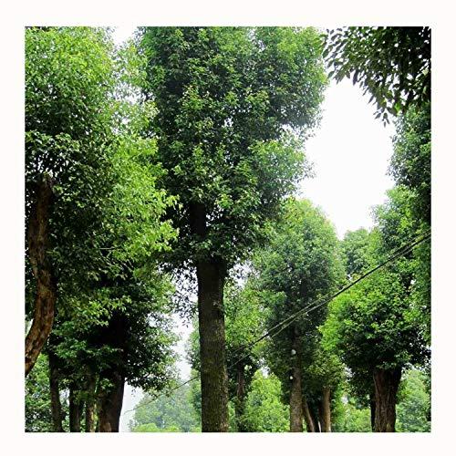 10 Albero di canfora Cinnamomum camphora alberi sempreverdi Semi ~ giardino di Chris