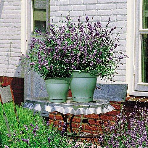 Lavande Hidcote - 20 plantes