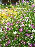 Gypsophila Repens, Teppich-Schleierkraut 50 Samen -Rosa