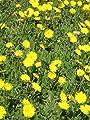 Hieracium pilosella - Mausohrhabichtskraut, 6 Pflanzen von Dachstauden - Du und dein Garten