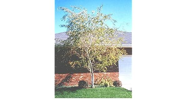 Japanische wei/ße Birke Betula Platyphylla Japonica Whitespire Baum 50 Samen