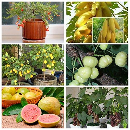 Aster Gardens - Garden & Outdoors > Plants, Seeds & Bulbs