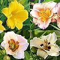 Hemerocallis Taglilienkollektion von Meingartenshop - Du und dein Garten