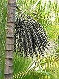 Assai Palme Euterpe oleracea Pflanze 20cm Jucarapalme Kohlpalme Acai sehr selten