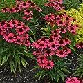 lichtnelke - Sonnenhut (Echinacea purpurea GLOWING DREAM) von Lichtnelke Pflanzenversand - Du und dein Garten