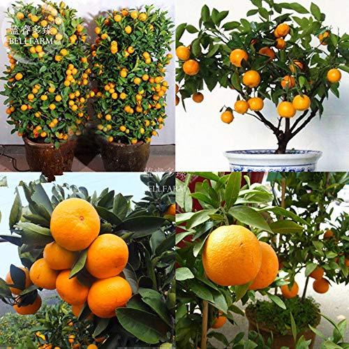 Go Garden Bellfarm Bonsai comestibles Fruit Mandarin Citrus orange Bonsaï vivace jardin Décor Belle Haute Germination de/pack