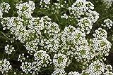 Pinkdose Blumensamen: Alyssum Snow Carpet Gartenhecke (11 Pakete) Gartenpflanzensamen von