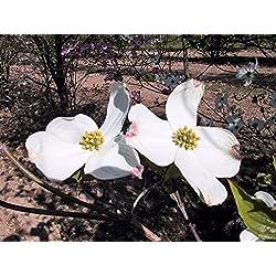 Amerikanischer Blumen- Hartriegel ? Cornus florida Containerware 60-80 cm - Garten von Ehren®